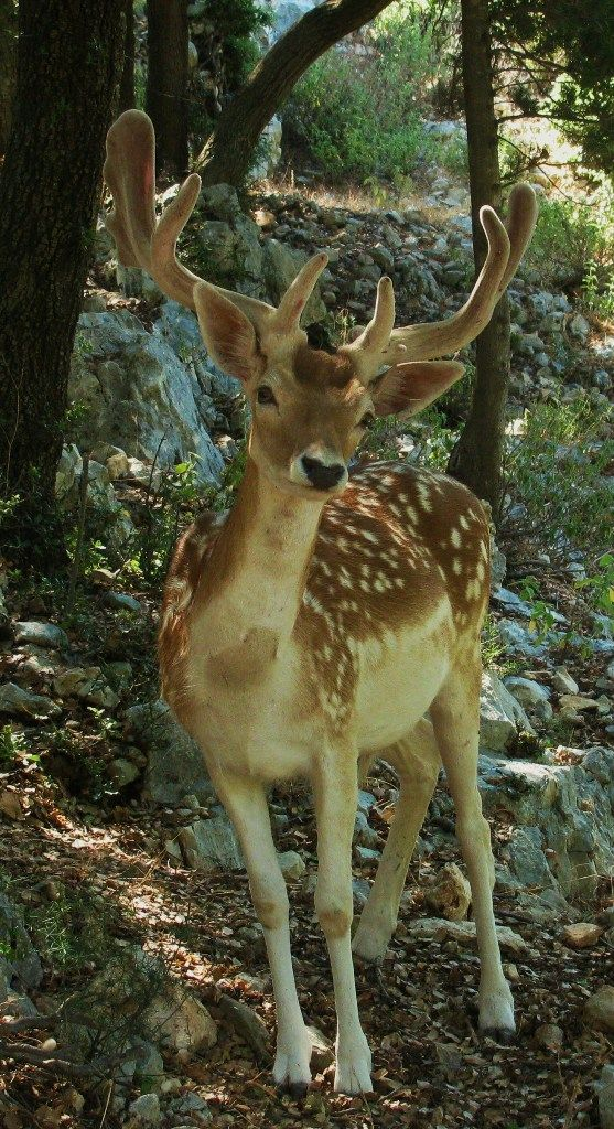 deer zakynthos island greece
