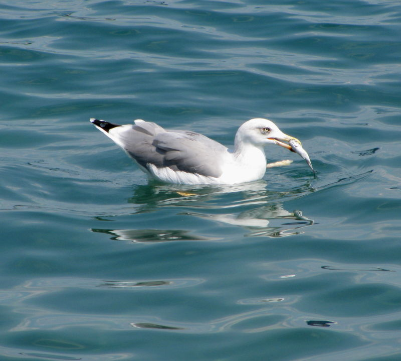 seagull fish sea
