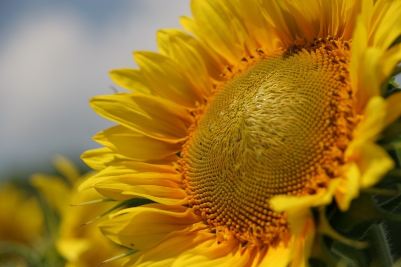 Sarah Guck sunflower macro photo Dan Dredger