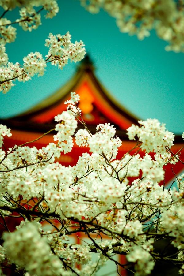 sakura, kiyomizu