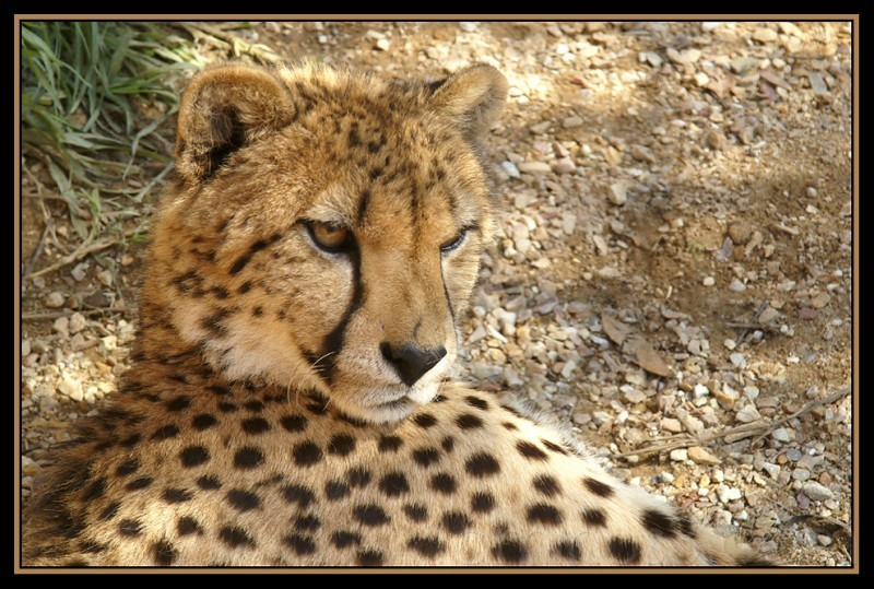 a portrait of a Cheetah