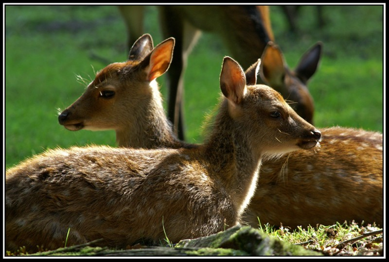 fawns,