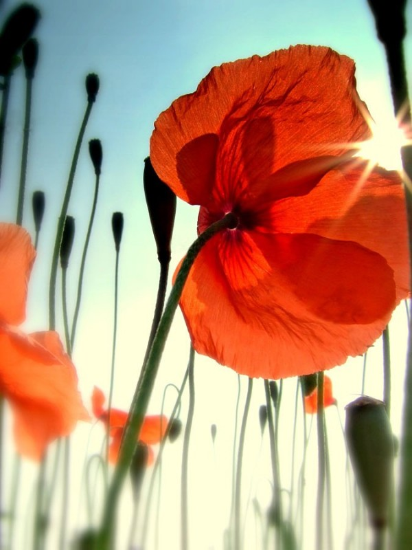 transluscent orange poppies in flower