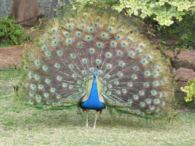 Peacock-002