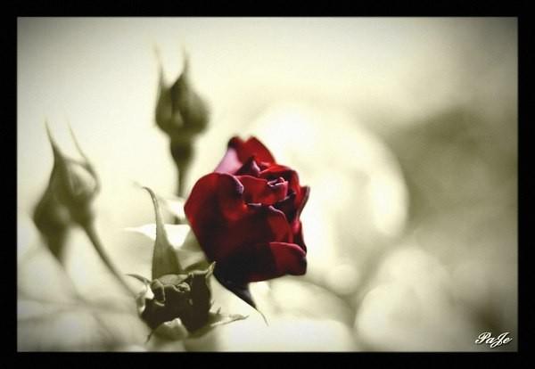 Rose rouge sur font de couleur brune clair