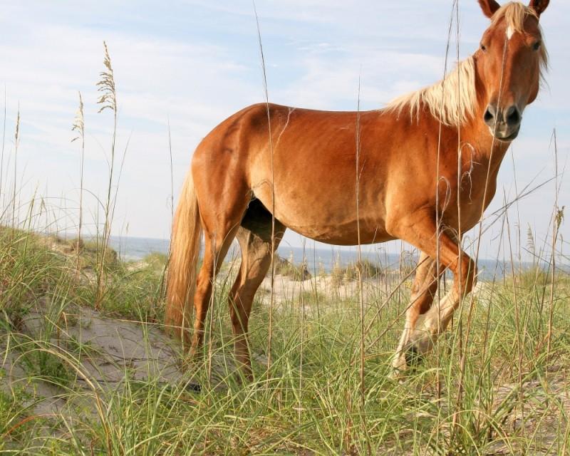 Horse in Corolla, NC 2
