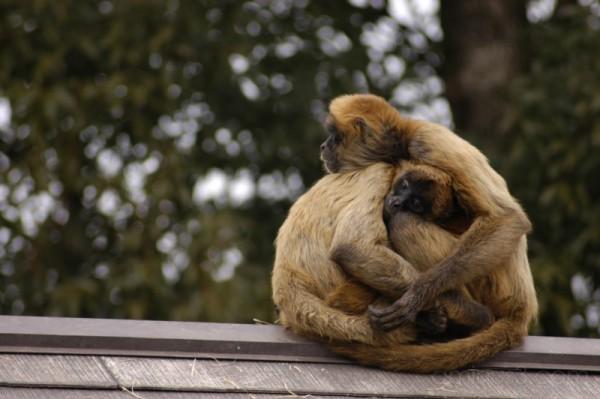 monkey monkies in japan さる サル 猿 岐阜 犬山 抱擁 猴