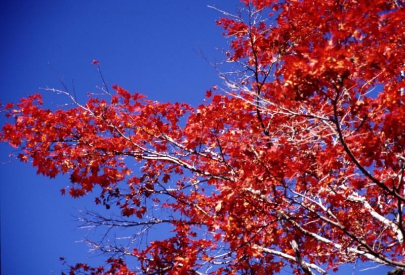 sky leaves red maple nikko 日光 自然 写真 もみじ 紅葉