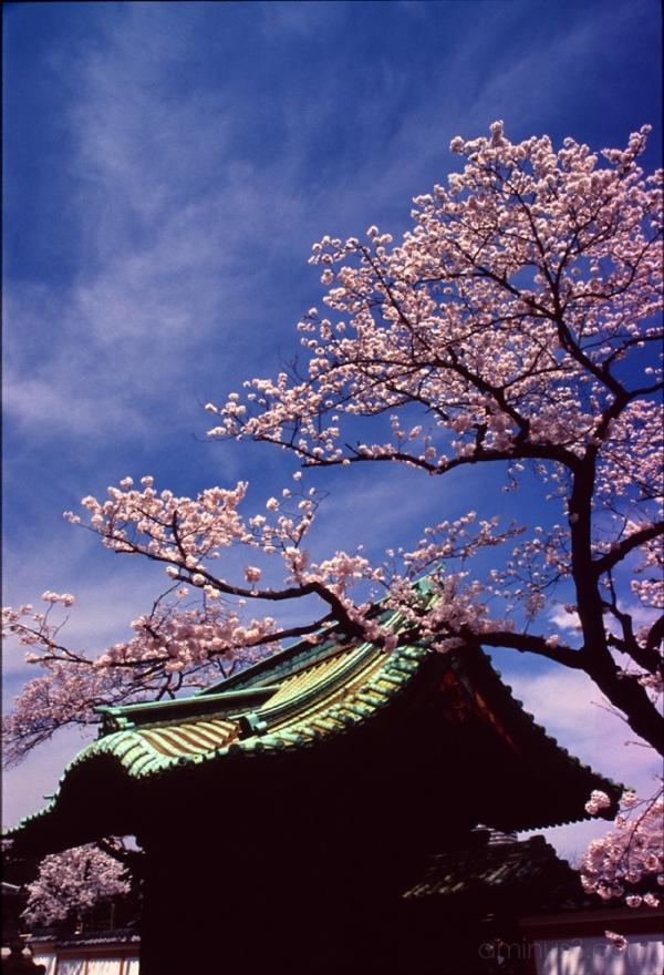 Kirschblüten tokyo temple cherry blossoms 上野 花見