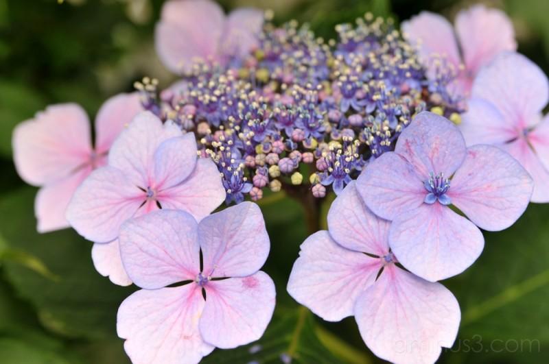 Purple Hydrangea 紫あじさい Yanaka Tokyo Plant Amp Nature
