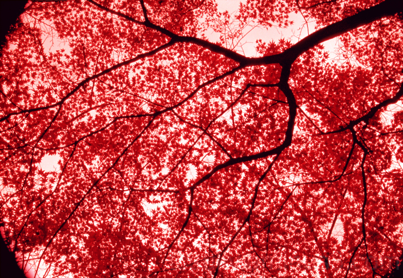 maple tree fall leaves 紅葉 もみじ 岐阜 gifu matsuo 松尾池
