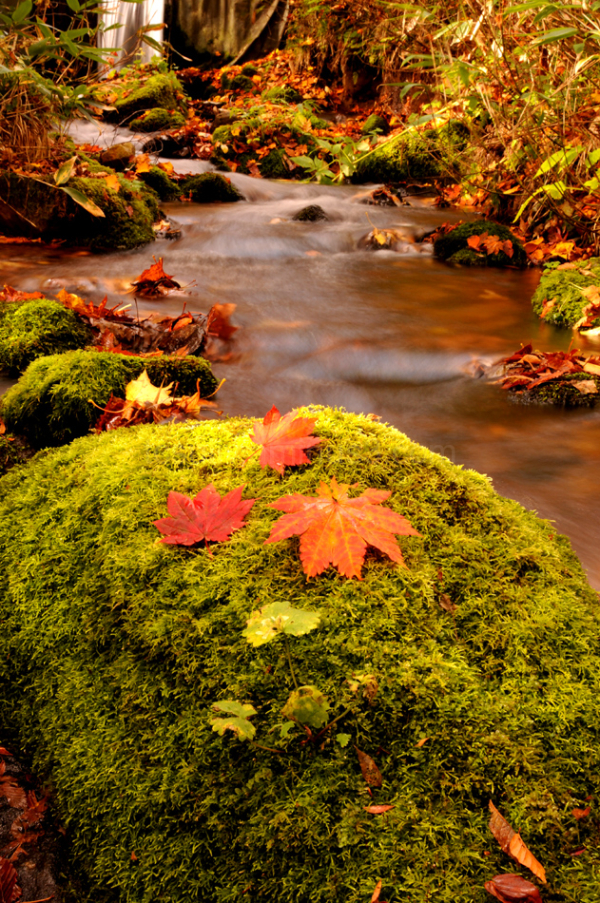 leaf stream moss momiji 苔 もみじ yamagata 山形 小川
