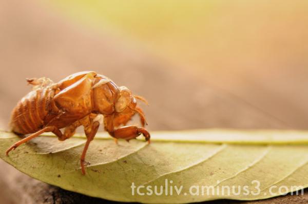cicada insect 虫 せみ 蝉 leaf 葉 macro マクロ