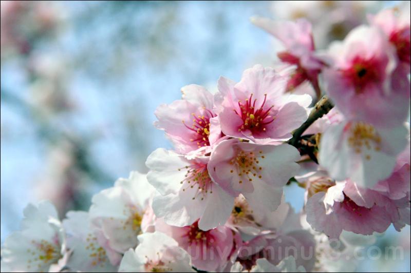 sakura cherry blooming cherry blossom 2009 japan
