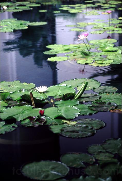 thai lotus pond タイで有る蓮池 (bangkok)