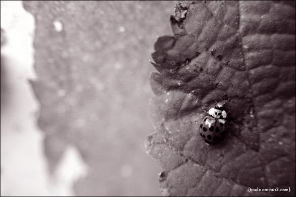 ladybird upon leaf テントウムシと葉 (takaosan)