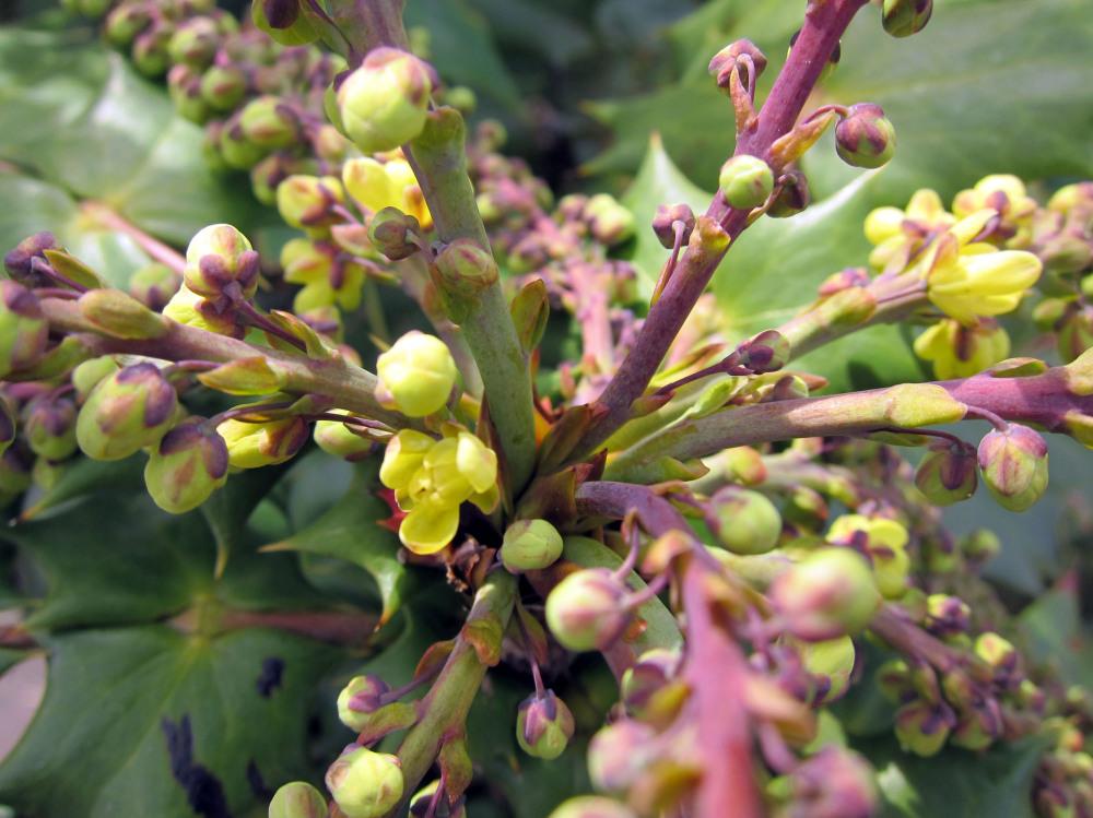 branching buds