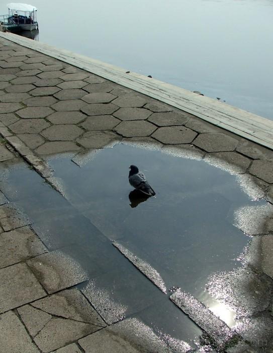 Pigeon on the riverside of Torun