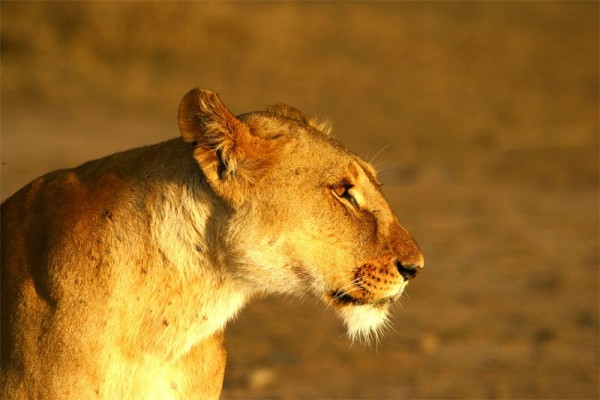 Lioness Sweetwaters Kenya