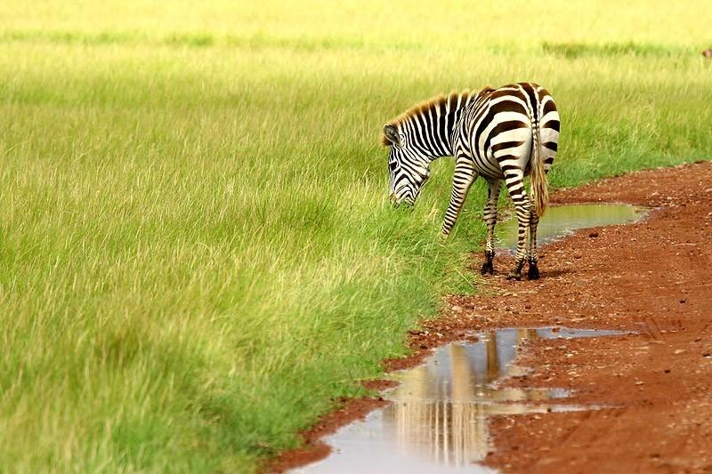 Zebra Lake Manyara