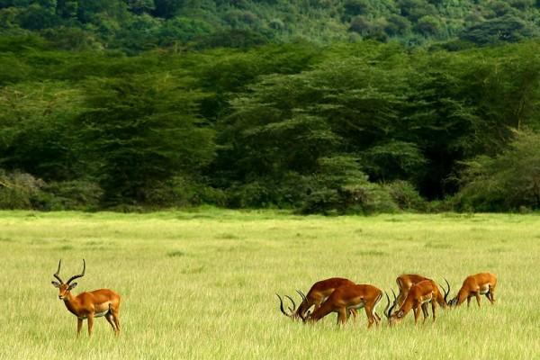 Impala Manyara Tanzania