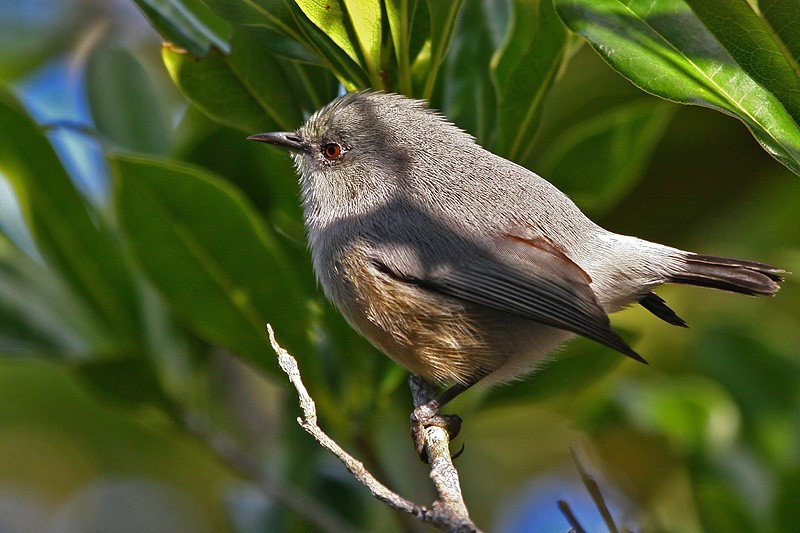 Grey white eye (Zosterops borbonica) Mauritius