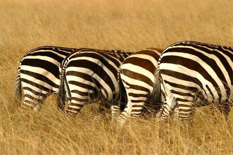 Zebras Masai Mara Kenya