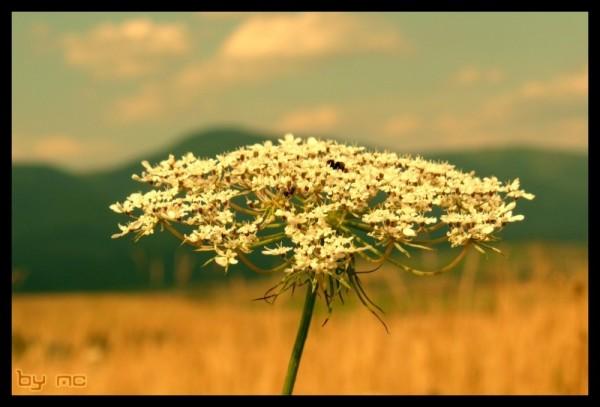 A field flower