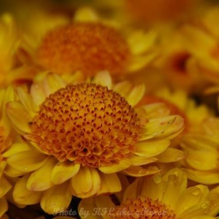 YinYuen Flower Exhibition Yellow