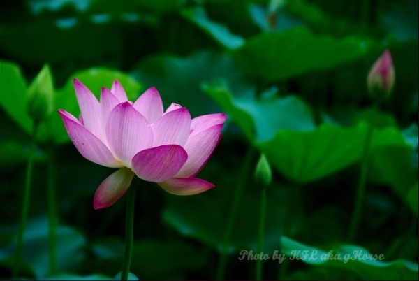 flower lotus shenzhen honghugarden