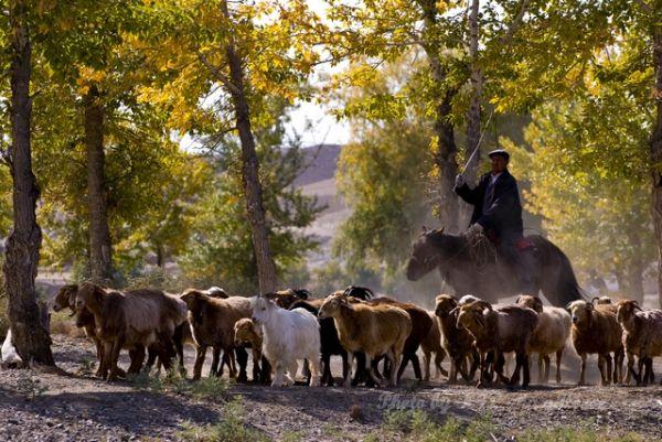 Autumn Color, Qia Cha Er Tu, Sheep, Shepherd, tree