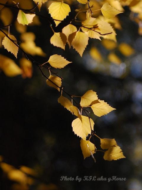 Da Dong Gou, leaf, Xin Jiang, yellow