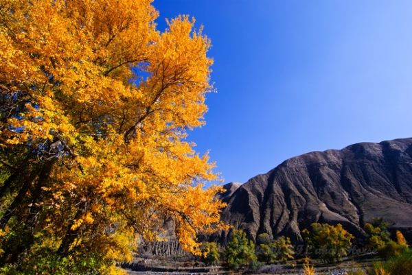 新疆, Xin Jiang, tree, yellow, autum, color, liu hua