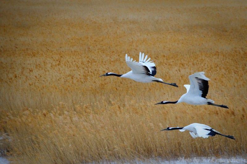birds, xiang hoi, Jilin, 吉林, 向海, 飞鸟