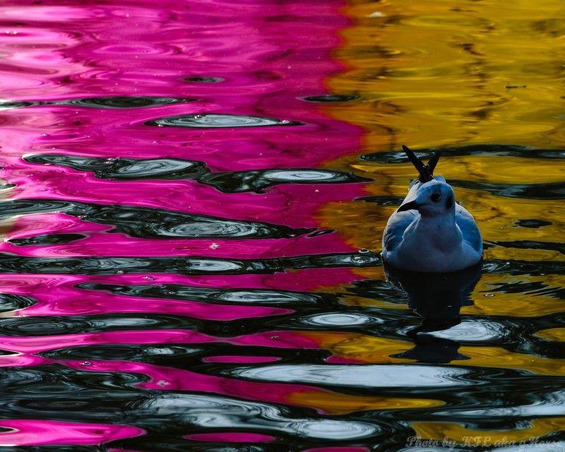 云南, 昆明, Yun Nam, Kun Ming, Seagull, water, reflect