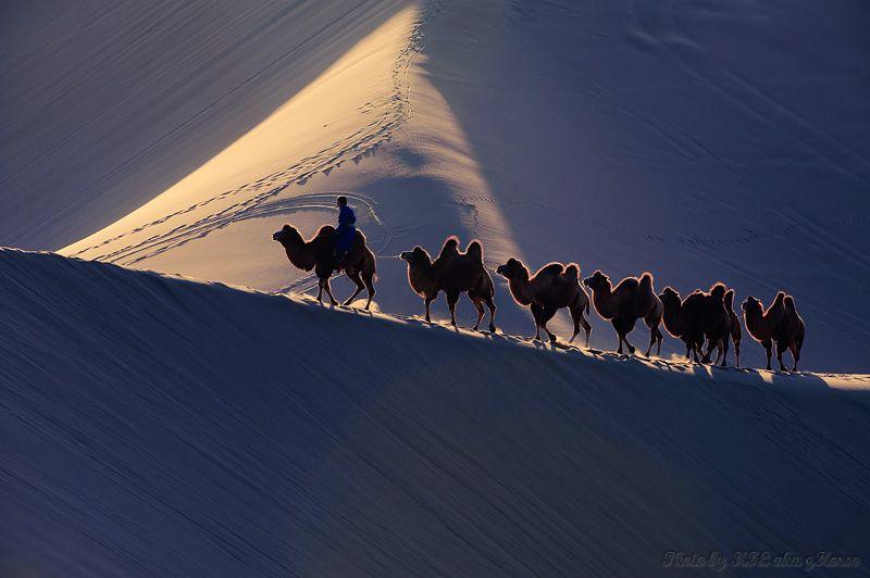 Erjinaqi, camel, sand, Dunes, Inner, Mongolia
