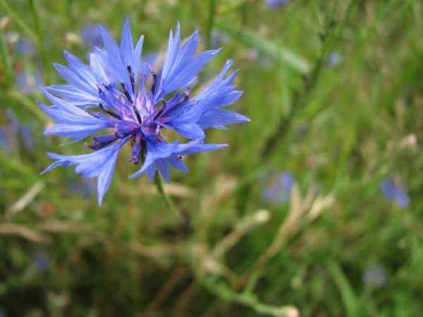 Blue flower in the grass