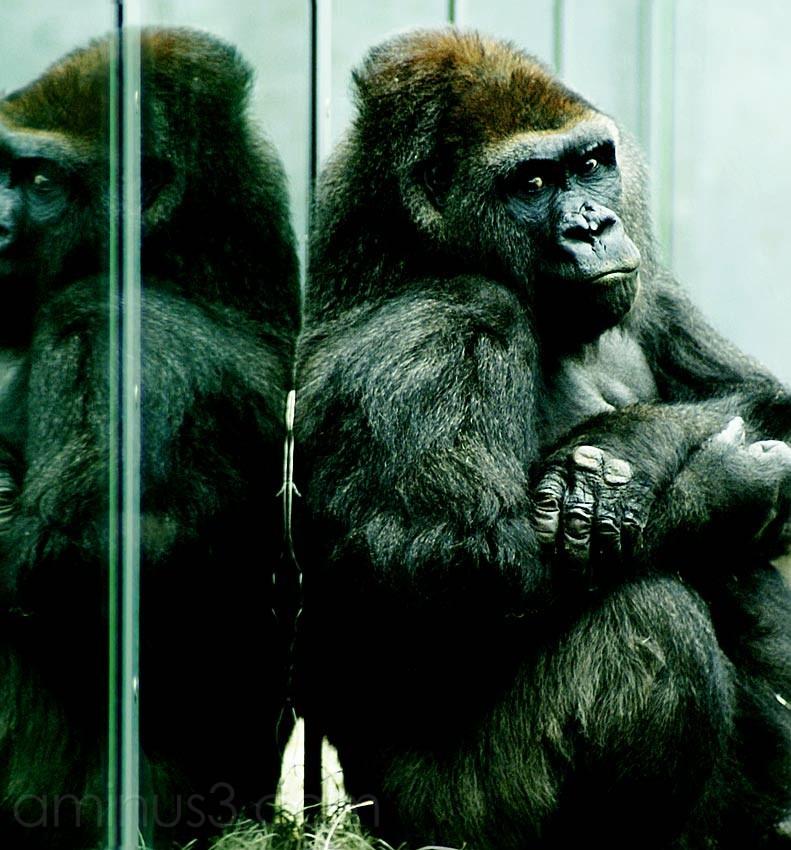 Gorilla, Zoo