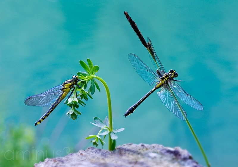 Odonata, Libelle
