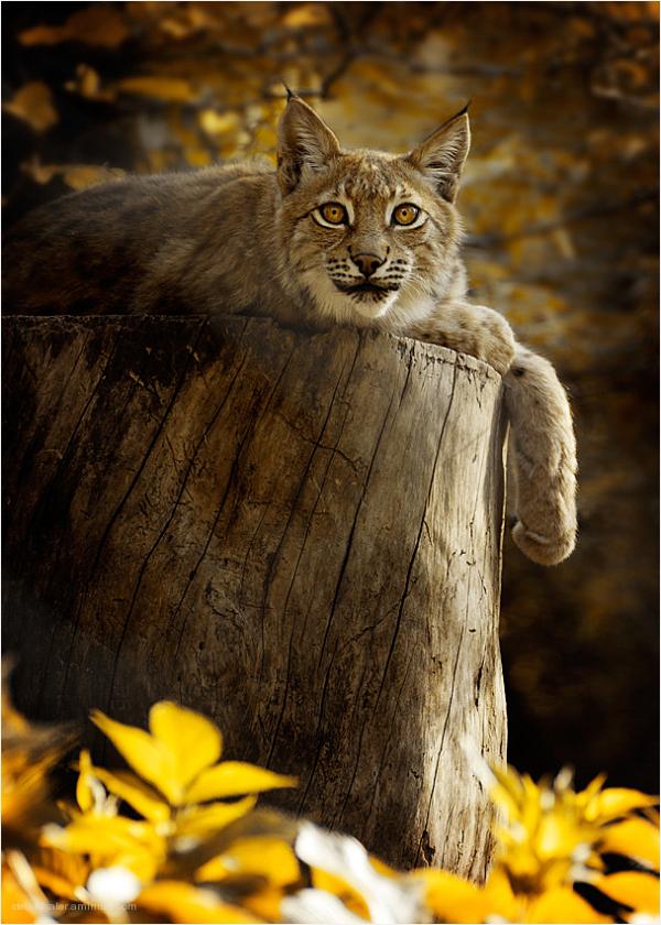 Luchs, lynx