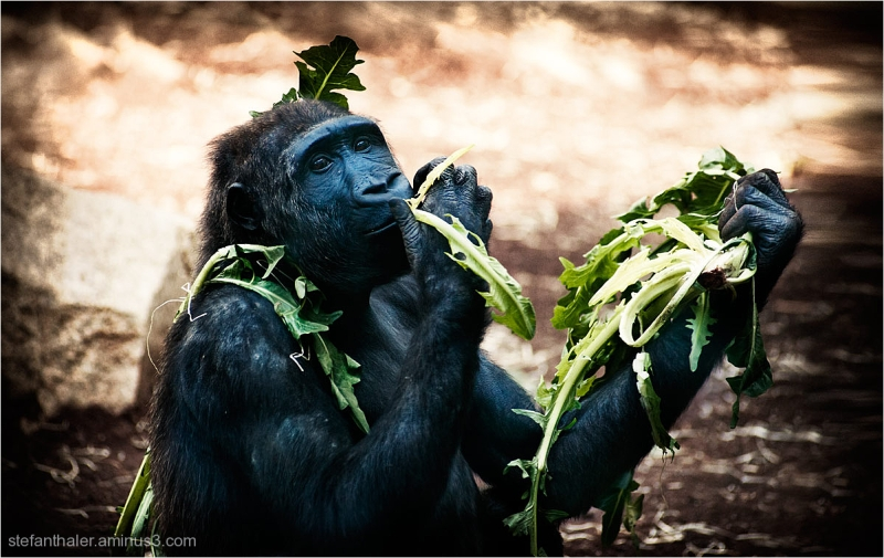 snack, Gorilla, Zoo
