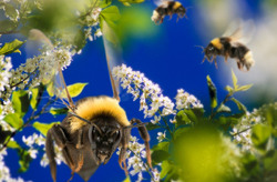 Flight of the Bumblebee, Bumblebee,