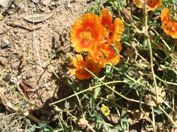 Orange poppies...