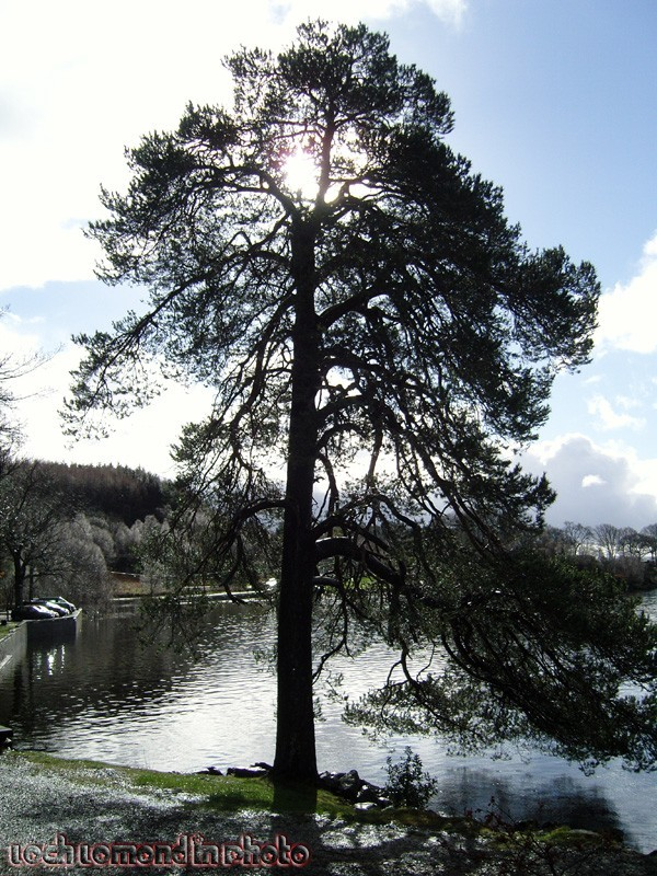 Tree in sunlight on the banks of Loch Lomond