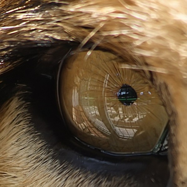 Lion's eye in a cage