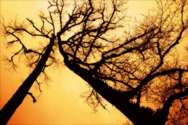 two old trees get married in the sky