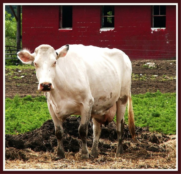 Red Barn cow