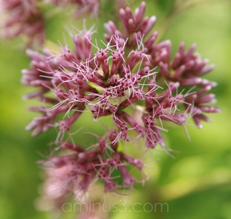 wild prairie flower