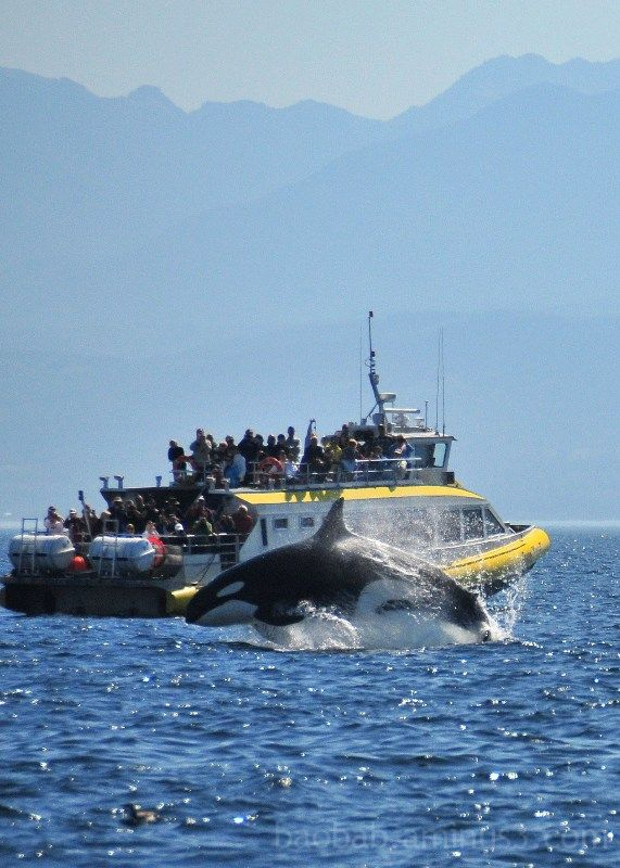 Orca Breach, Strait of Juan de Fuca