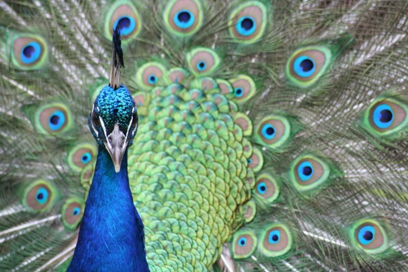 Peacock at the Auckland Zoo